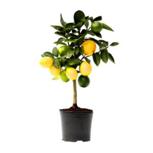 Location de citronniers pour évènement