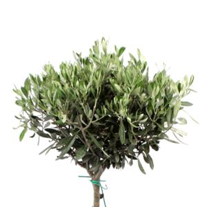Location d'olivier pour vos évènements
