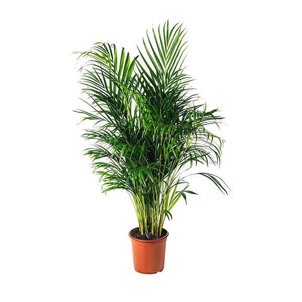 Plante Areca