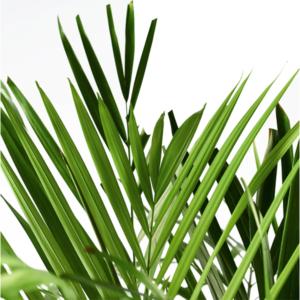 Plante Areca détail